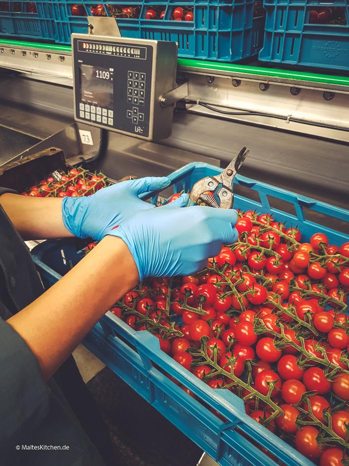 Hier werden die Tomaten sortiert