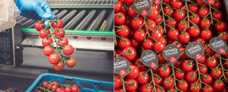 Mein Bericht über die Produktion der Honigtomate von Looye Kwekers